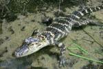 Alligator Farmers and Other Designer Labels Suffer while Hermes Continues to Sell Exotic Handbags